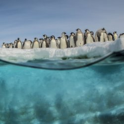 """Ten years on from Luc Jacquet's """"March of the Penguins"""", Laurent Ballesta and his team joined with the French filmmaker to make a documentary on the impact of global warming on fragile marine ecosystems. © Laurent Ballesta-Projet Gombessa-Blancpain"""
